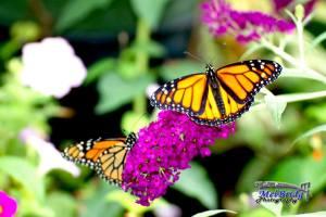 Butterfly Bridgit