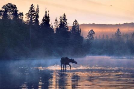 moose_650